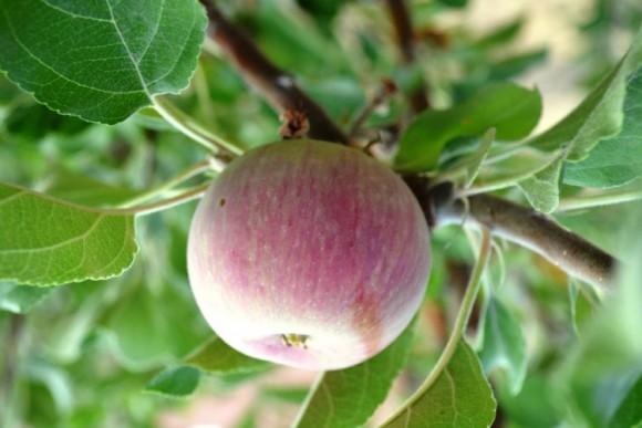 Snow apple on tree